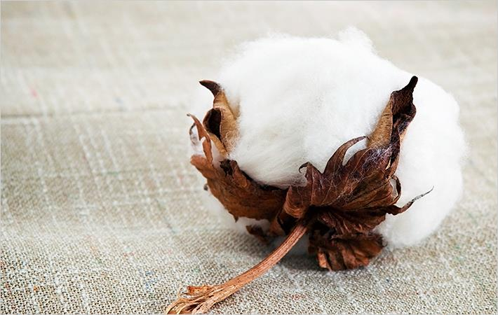 Punjab govt responds to whitefly attack on cotton crop